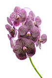 Orchid flowers isolated Stock Photo
