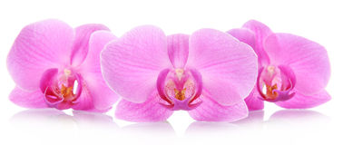 The orchid flowers Royalty Free Stock Image
