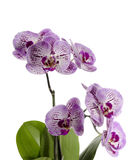 Orchid flowers. Isolated on white background Royalty Free Stock Images