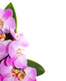 Orchid Flowers isolated on white background Royalty Free Stock Photos