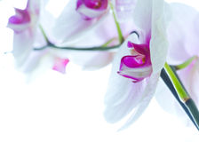 Orchid flowers isolated white Royalty Free Stock Images