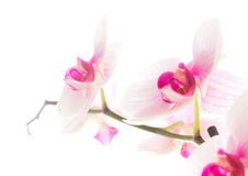 Orchid flowers isolated white Stock Image