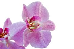 Orchid flowers isolated on white. Flowers of pink orchid isolated on white Stock Image