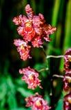 Orchid flowers (Odontoglossum) Royalty Free Stock Photo