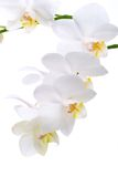 Orchid Flowers On White Royalty Free Stock Images