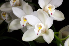 Orchid flowers over black (Cymbidium sp) Royalty Free Stock Image