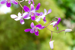 Orchid flowers over natural background Royalty Free Stock Photography