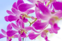 Orchid flowers over natural background Royalty Free Stock Images