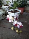 Orchid flowers. Pink and white orchid flowers and buds in a flowerpot royalty free stock images