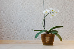Orchid flowers in pot at floor against the background wallpapers Stock Photos
