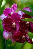 Orchid flowers. Purple orchid flowers in tropical rainforest Royalty Free Stock Images