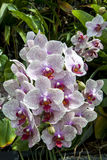 Orchid flowers in the rainforest atrium at the Garden by the Bay in Singapore. Stock Photo