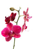 Orchid flowers. Simetric orchid flower on white background Royalty Free Stock Photo