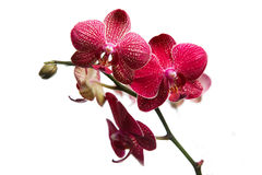 Orchid flowers. Simetric orchid flower on white background Royalty Free Stock Photos
