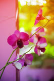 Orchid flowers on sunshine Stock Photography