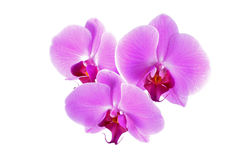 Orchid flowers. Three flowers of pink phalaenopsis orchid on white Stock Images