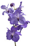 Orchid flowers. Orchid, violet flower on a white background Royalty Free Stock Images