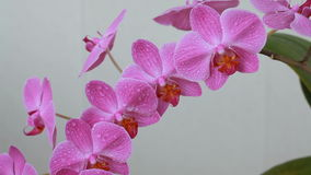 Orchid flowers with water drops after spraying. Purple orchid flowers with water drops after spraying stock footage