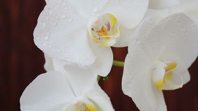 Orchid flowers with water drops after spraying. White orchid flowers with water drops after spraying stock footage