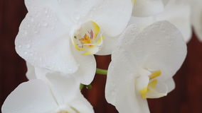 Orchid flowers with water drops after spraying. White orchid flowers with water drops after spraying stock video