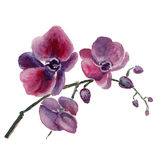 The orchid flowers watercolor isolated Stock Photos