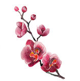 The orchid flowers watercolor isolated Royalty Free Stock Images
