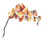 The orchid flowers watercolor isolated Stock Image