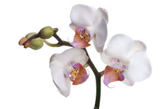 Orchid flowers on white Stock Image