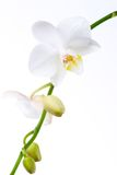 Orchid flowers on white. Gorgeous white phalaenopsis orchid flower on white background Stock Photo