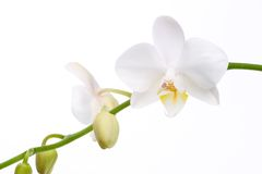 Orchid flowers on white Royalty Free Stock Image