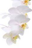 Orchid flowers on white. Gorgeous white phalaenopsis orchid flower on white background Royalty Free Stock Image