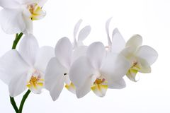Orchid flowers on white Royalty Free Stock Photos