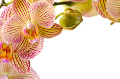 Orchid flowers on white background Stock Images