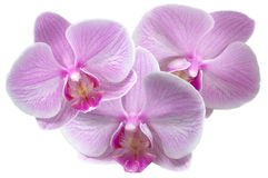 Orchid. Flowers on a white background Royalty Free Stock Photography