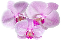 Orchid. Flowers on a white background Stock Photo
