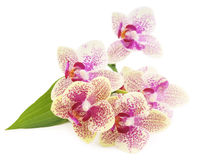 Orchid flowers. Royalty Free Stock Photo