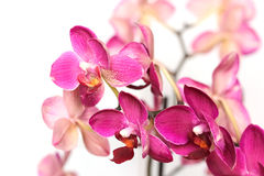 Orchid flowers on white background Royalty Free Stock Images
