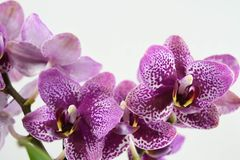 Orchid flowers on white background. Close up purple orchid flowers on white backgrounds Royalty Free Stock Photos