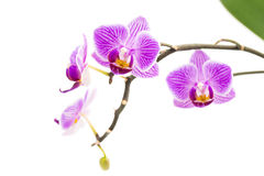 Orchid flowers on white background. Orchid flowers isolated on white background Stock Photos