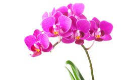 Orchid Flowers on White Background Stock Image