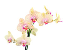 Orchid flowers on white background Stock Photo