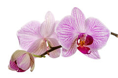 Orchid flowers on white Royalty Free Stock Photo