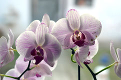 Orchid flowers on the windows sill in the room Stock Photo