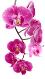 Orchid Flowers With Water Drops Stock Images