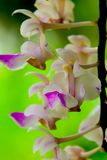 Orchid flowers are withering. Orchids are flowering for a while, then some flowers will begin to wither Stock Photo