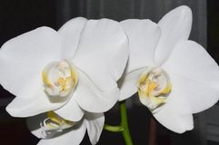 White orchid. Orchid flowerson aon a dark background Royalty Free Stock Photo