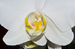 White orchid. Orchid flowerson aon a dark background Stock Photo