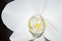 White orchid. Orchid flowerson aon a dark background Royalty Free Stock Photos