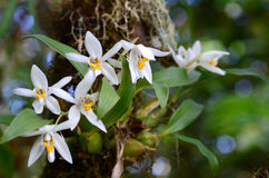 Orchid in the forest (Coelogyne nitida). Orchid in the forest with natural lighting Stock Images