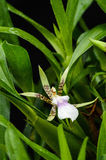 Orchid fower. Pretty orchid flower bloom after rain Royalty Free Stock Photography